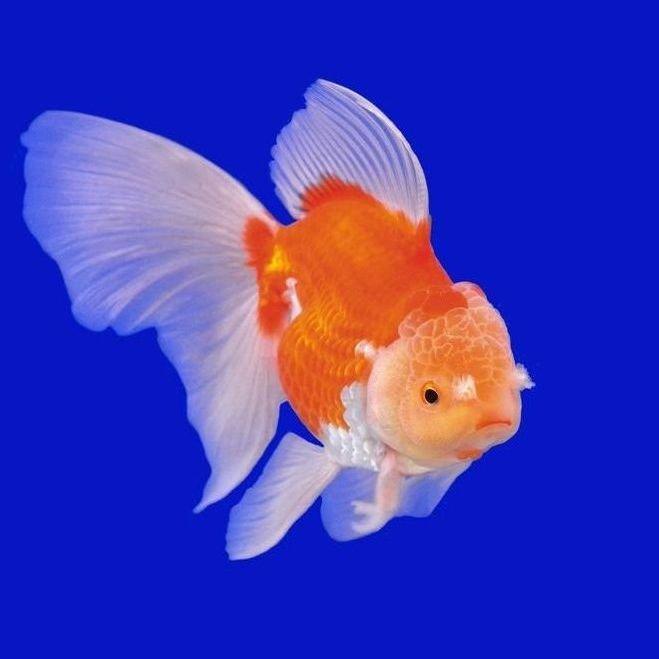 Pez cabeza de le n toda la informaci n mundo acuario for Peces goldfish tipos