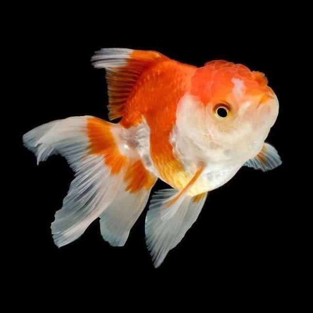 Pez oranda mundo acuario for Peces de agua estancada
