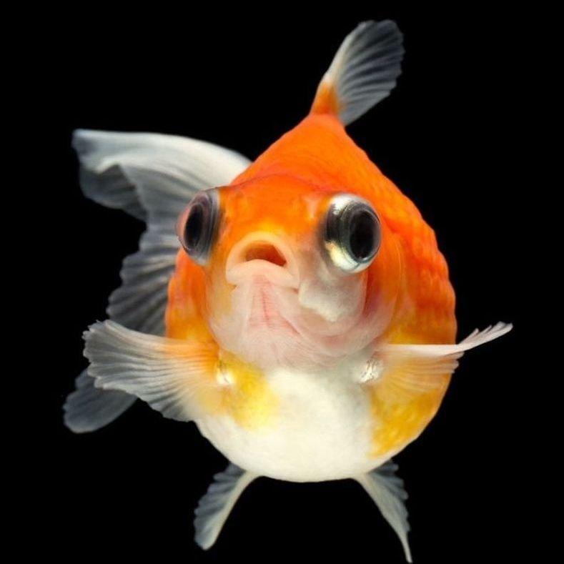 Pez escama de perla mundo acuario for Peces goldfish tipos